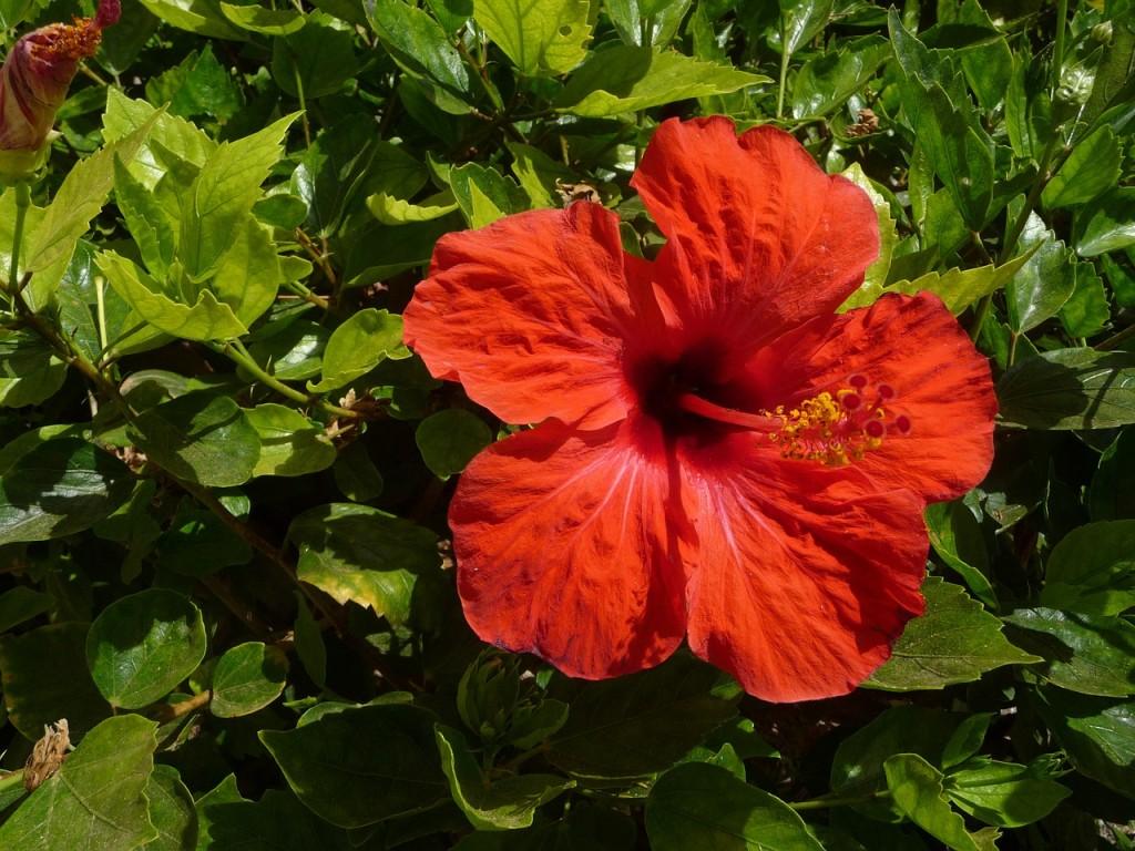 hibiscus-424525_1280