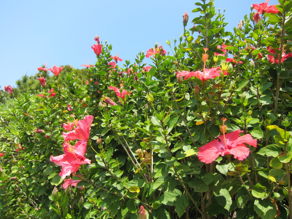 宮古島,キャバクラ,沖縄,ブログ画像,自然,リゾート,ハイビスカス
